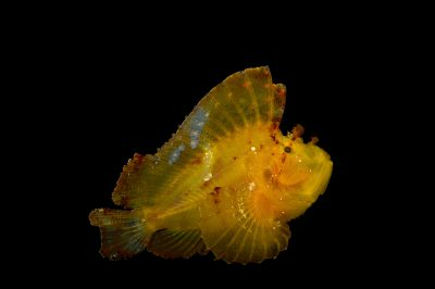 Picture of a leaf Scorpionfish (Taenianotus triacanthus) at Omaha's Henry Doorly Zoo and Aquarium.