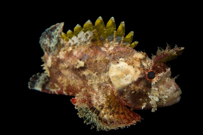 Picture of a Mozambique scorpionfish (Parascorpaena mossambica) at Omaha's Henry Doorly Zoo and Aquarium.