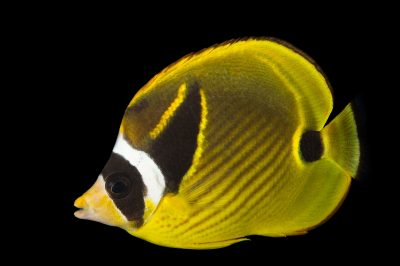 Picture of a redstriped butterflyfish (Chaetodon lunula) at Omaha's Henry Doorly Zoo and Aquarium.