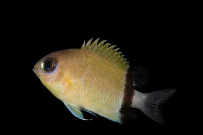 Picture of a black bar chromis (Chromis retrofasciata) at Omaha's Henry Doorly Zoo and Aquarium.
