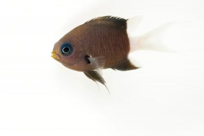 Picture of a bicolor chromis (Chromis margaritifer) at Omaha's Henry Doorly Zoo and Aquarium.