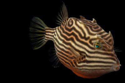 Picture of a female striped cowfish (Aracana aurita) at Omaha's Henry Doorly Zoo and Aquarium.
