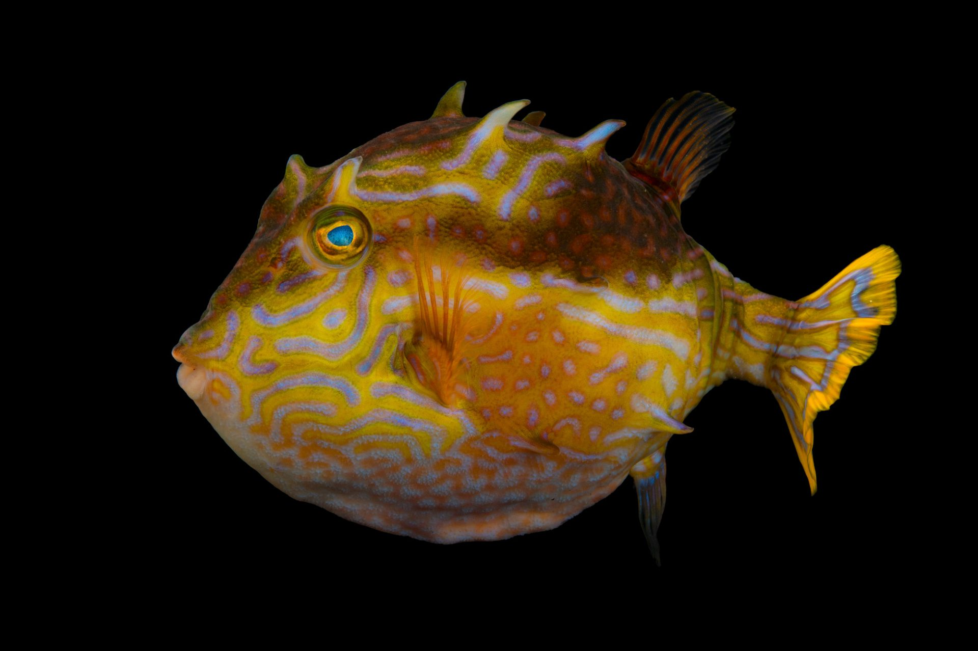 Picture of a male striped cowfish (Aracana aurita) at Omaha's Henry Doorly Zoo and Aquarium.