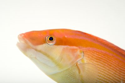 Picture of a Western king wrasse (Coris auricularis) at Omaha's Henry Doorly Zoo and Aquarium.