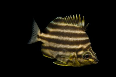 Picture of a stripey (Microcanthus strigatus) at Omaha's Henry Doorly Zoo and Aquarium.