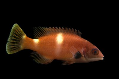 Picture of a foxfish (Bodianus frenchii) at Omaha's Henry Doorly Zoo and Aquarium.