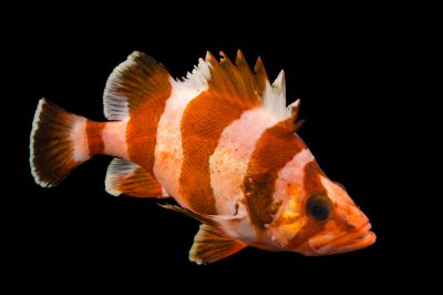 Picture of a flag rockfish (Sebastes rubrivinctus) at Omaha's Henry Doorly Zoo and Aquarium.