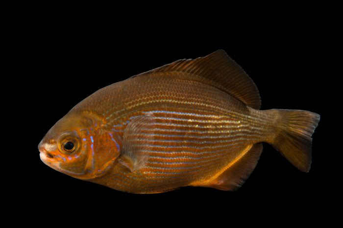 Picture of a striped surf perch (Embiotoca lateralis) at Omaha's Henry Doorly Zoo and Aquarium.