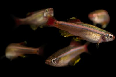 Picture of White Cloud Mountain minnows (Tanichthys albonubes) at the Tulsa Zoo.
