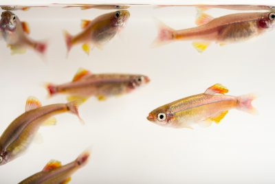 Picture of White Cloud Mountain minnow (Tanichthys albonubes) at the Tulsa Zoo.