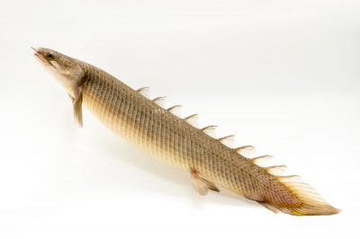 Picture of a senegal bichir (Polypterus senegalus) at the Tulsa Zoo.