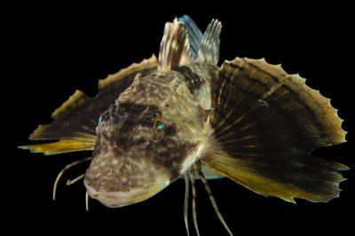 Picture of a bighead searobin (Prionotus tribulus) at Gulf Specimen Marine Lab and Aquarium.