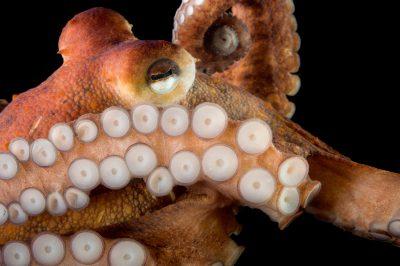 Picture of a common octopus (Octopus vulgaris) at Gulf Specimen Marine Lab and Aquarium.