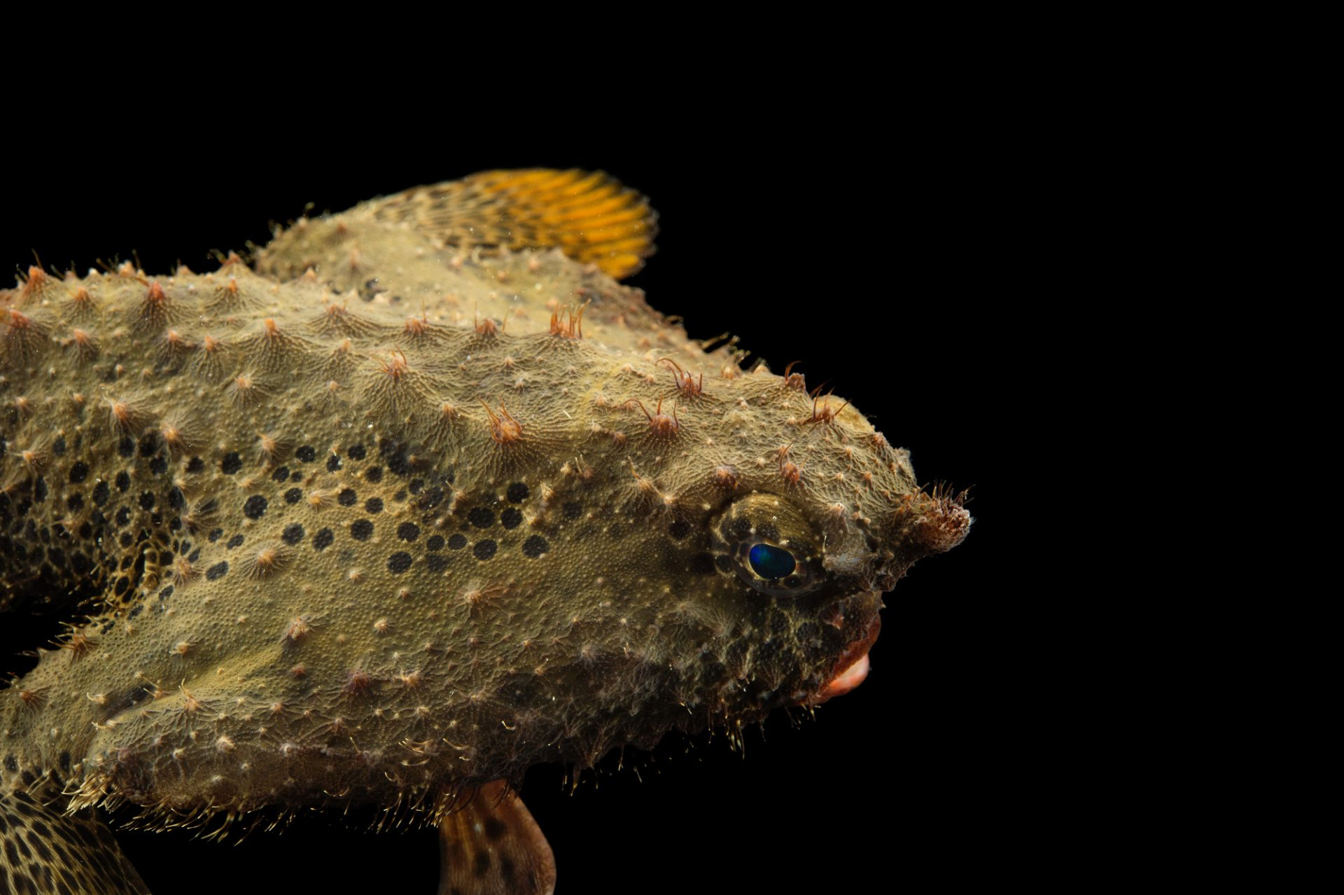 Picture of a batfish (Ogcocephalus cubiformes) at Gulf Specimen Marine Lab and Aquarium.