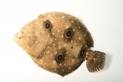 Picture of a four-spotted flounder (Paralichthys oblongus) at Gulf Specimen Marine Lab and Aquarium.