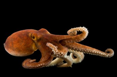 Picture of a common octopus (Octopus vulgaris) at Gulf Specimen Marine Lab and Aquarium.
