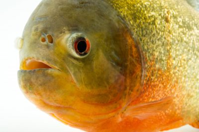 Picture of a red-bellied piranha (Pygocentrus nattereri) at the Oklahoma City Zoo.