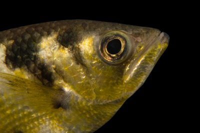 Picture of a banded archerfish (Toxotes jaculatrix) at the Oklahoma City Zoo.