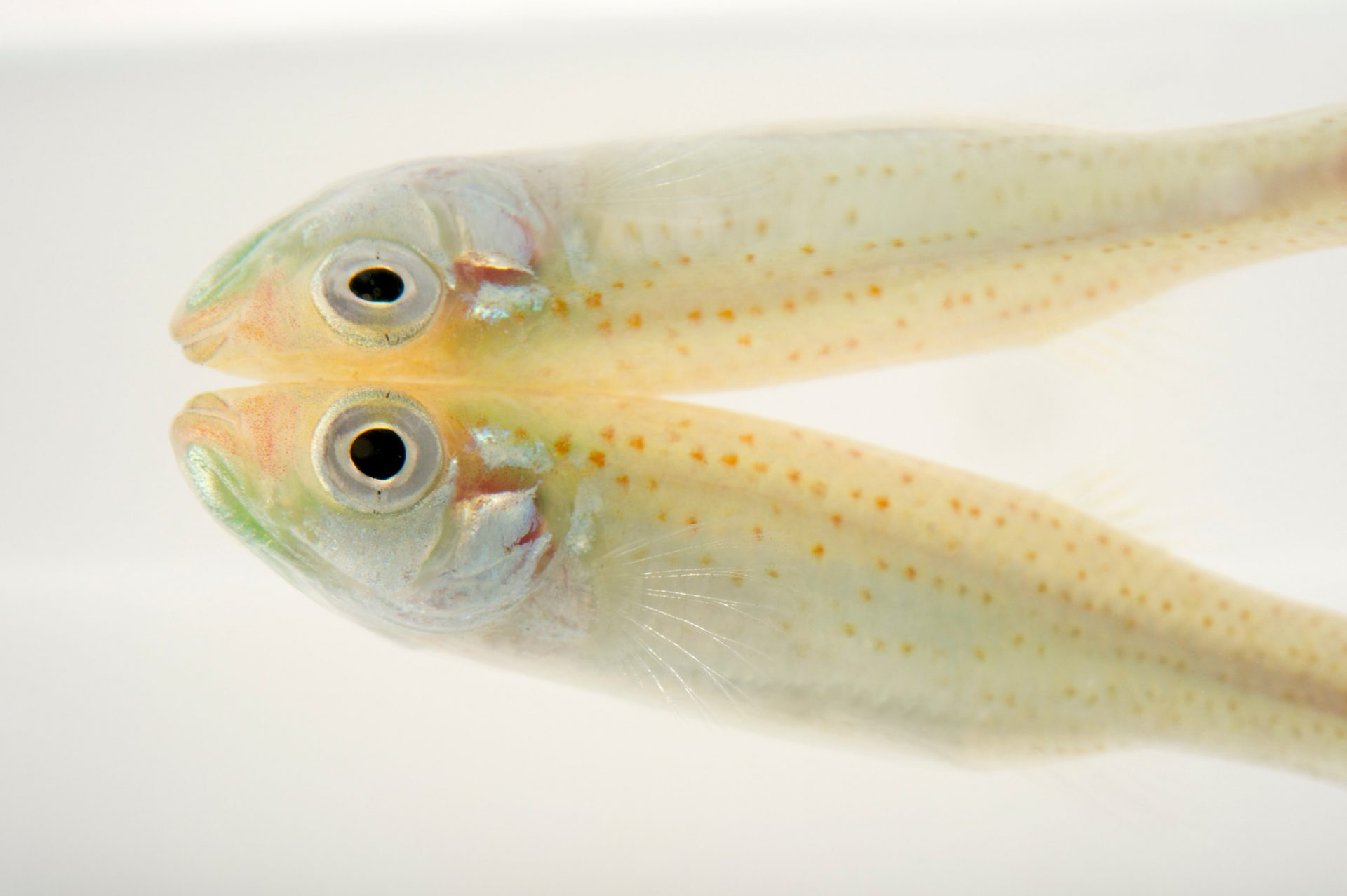 Picture of a golden topminnow (Fundulus chrysotus) at the US Geological Survey Southeast Science Center.