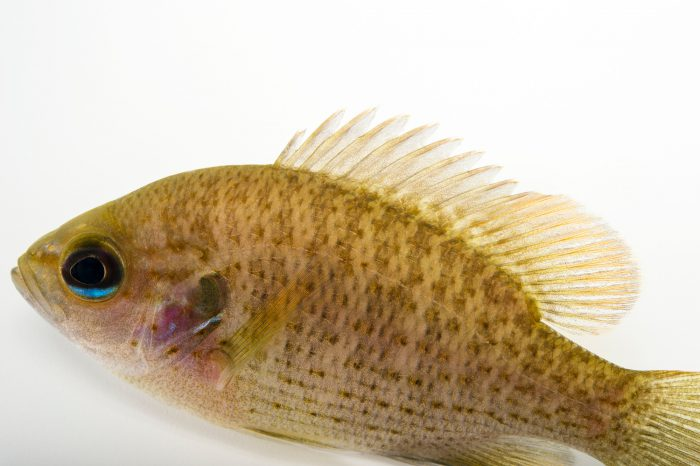 Picture of a spotted sunfish (Lepomis punctatus) from the Yellow River, Florida, at the US Geological Survey Southeast Science Center.