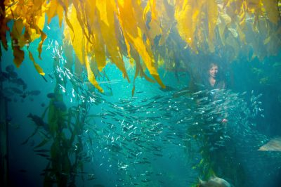 Photo: A school of anchovies and other fish in the kelp tank at the Monterey Bay Aquarium.