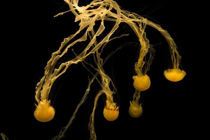 Picture of Black sea nettle (Chrysaora achlyos) at the Monterey Bay Aquarium.