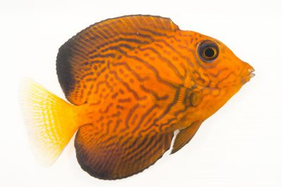Picture of a chevron tang (Ctenochaetus hawaiiensis) at Pure Aquariums from the Gulf Specimen Marine Lab.
