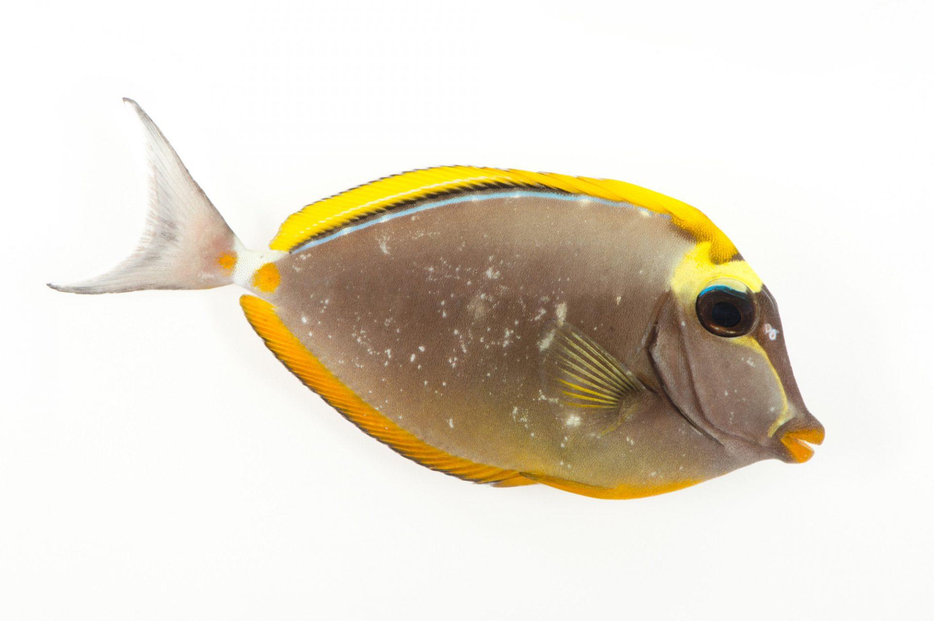 Picture of an orange spine surgeonfish (Naso lituratus) at Pure Aquariums from the Gulf Specimen Marine Lab.