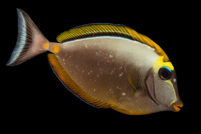 Picture of an orange spine surgeonfish (Naso lituratus) at Pure Aquariums from the Gulf Specimen Marine Lab.