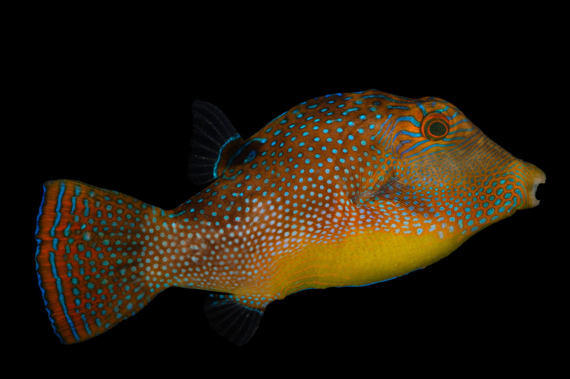 Picture of a blue spotted pufferfish (Canthigaster solandri) at Pure Aquariums.