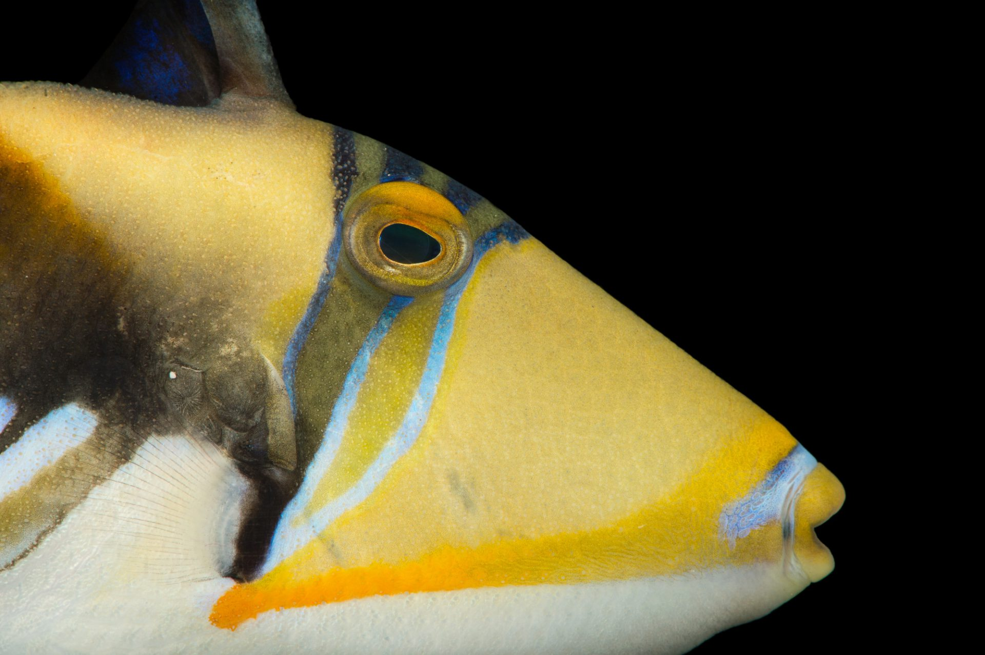 Picture of a lagoon triggerfish (Rhinecanthus aculeatus) at Pure Aquariums.