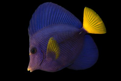 Picture of a yellowtail tang (Zebrasoma xanthurum) at Pure Aquariums.