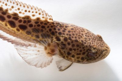Picture of an Atlantic midshipman, Porichthys plectrodon, at Pure Aquariums from the Gulf Specimen Marine Lab.