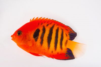 Picture of a flame angelfish (Centropyge loricula) at Pure Aquariums.