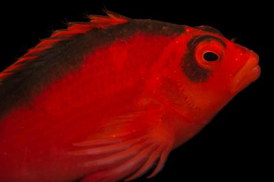 Picture of a flame hawkfish (Neocirrhites armatus) at Pure Aquariums.