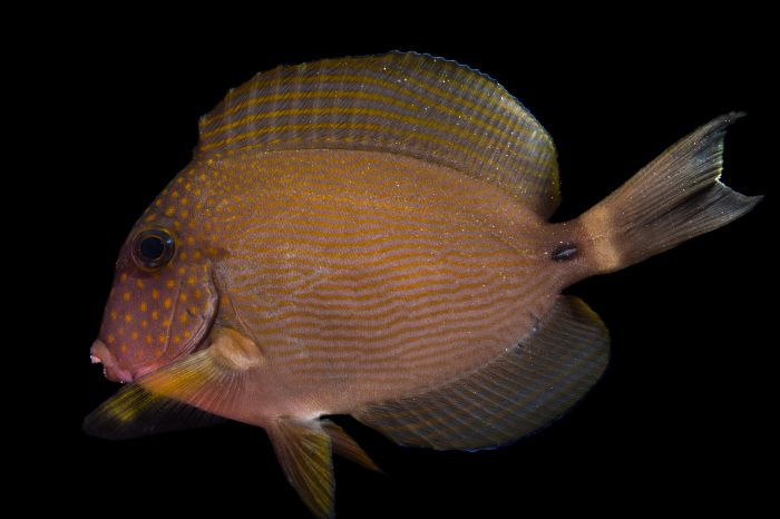 Picture of a spotted-face surgeonfish (Acanthurus maculiceps) at Pure Aquariums.