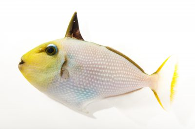 Picture of a blue-throated triggerfish (Xanthichthys auromarginatus) at Pure Aquariums.