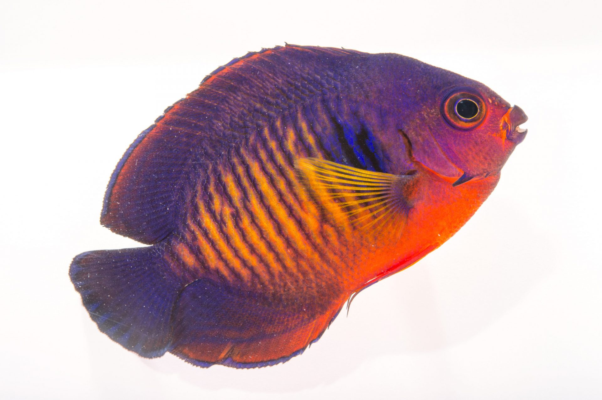 Picture of a twospined angelfish (Centropyge bispinosa) at Pure Aquariums.