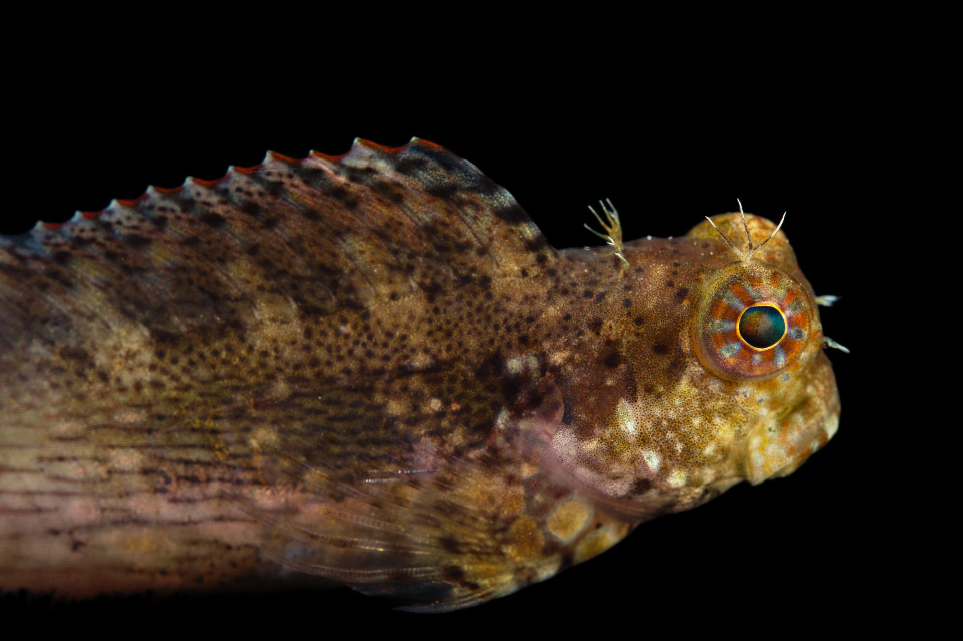 Picture of a jeweled blenny (Salarias fasciatus) at Pure Aquariums.