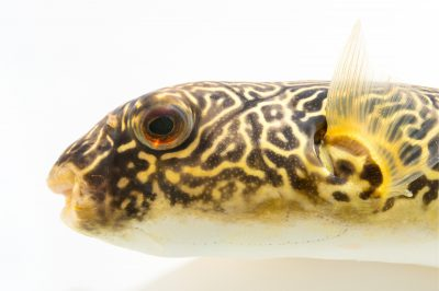 Picture of Larry, a Mbu puffer fish (Tetraodon mbu) at Pet Paradise.