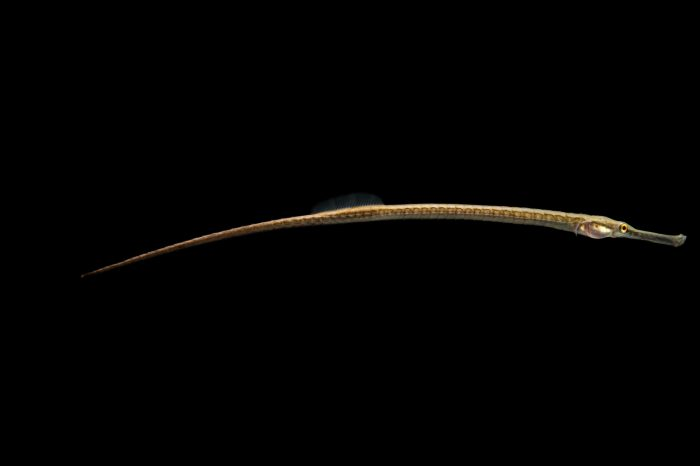 Picture of a longsnouted pipefish (Doryichthys martensii) at Pet Paradise.