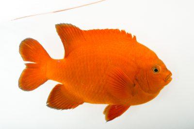 Picture of a garibaldi fish (Hypsypops rubicundus) at the REEF, at the University of California, Santa Barbara.