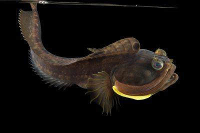 Picture of a sarcastic fringehead fish (Neoclinus blanchardi) at the REEF, at the University of California, Santa Barbara.