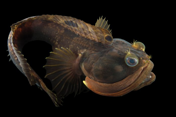 Picture of a sarcastic fringehead fish (Neoclinus blanchardi) at the REEF, at the University of California, Santa Barbara.