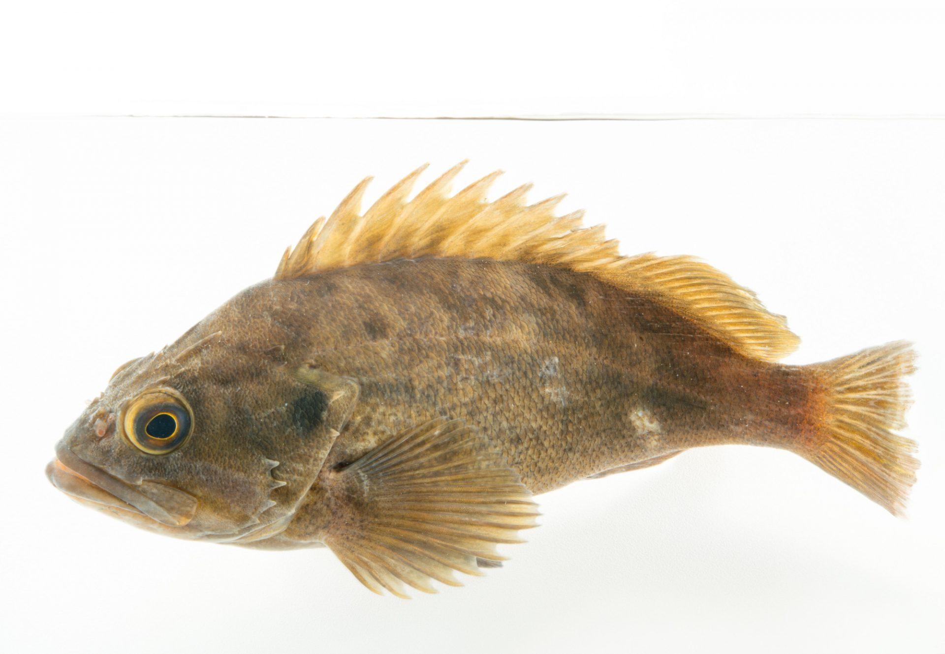 Picture of a brown rockfish (Sebastes auriculatus) at the REEF, at the University of California, Santa Barbara.