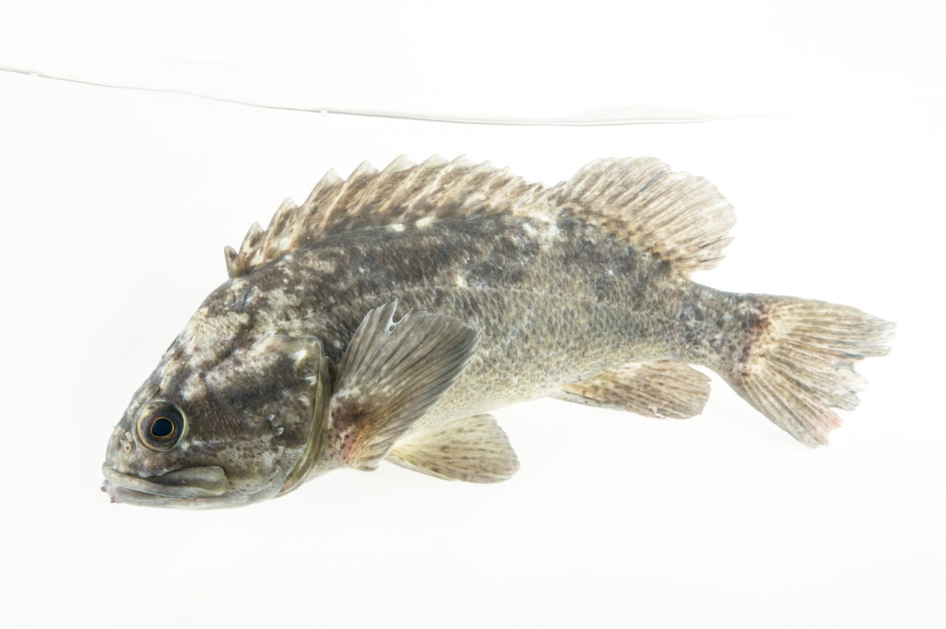 Picture of a grass rockfish (Sebastes rastrelliger) at the REEF, at the University of California, Santa Barbara.