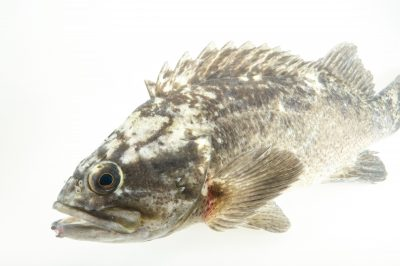 Picture of a grass rockfish (Sebastes rastrelliger) at the REEF, at the University of California, Santa Barbara.
