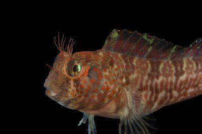 Picture of a crevice kelpfish (Gibbonsia montereyensis) at the REEF, at the University of California, Santa Barbara.
