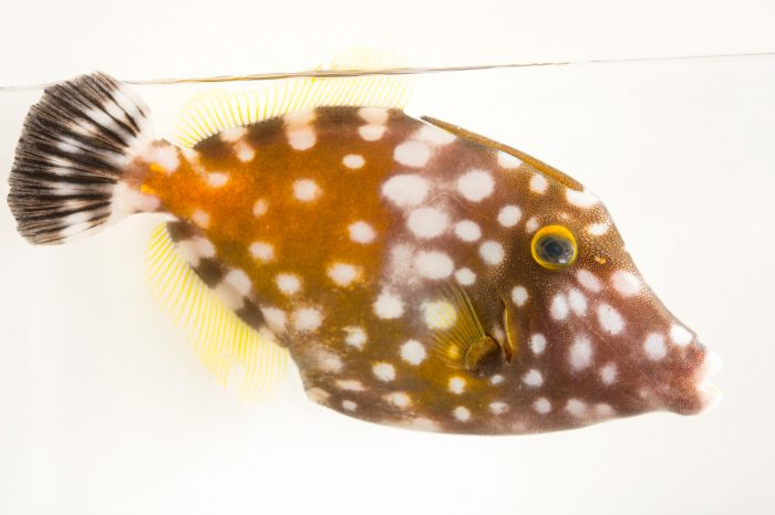 Picture of a whitespotted filefish (Cantherhines macrocerus) at the Oceanario in Palmar, Colombia.