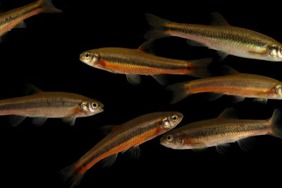 A school of flame chubs (Hemitremia flammea) at Conservation Fisheries in Knoxville, Tennessee.